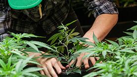 a-farmer-puts-his-marijuana-plant-into-soil